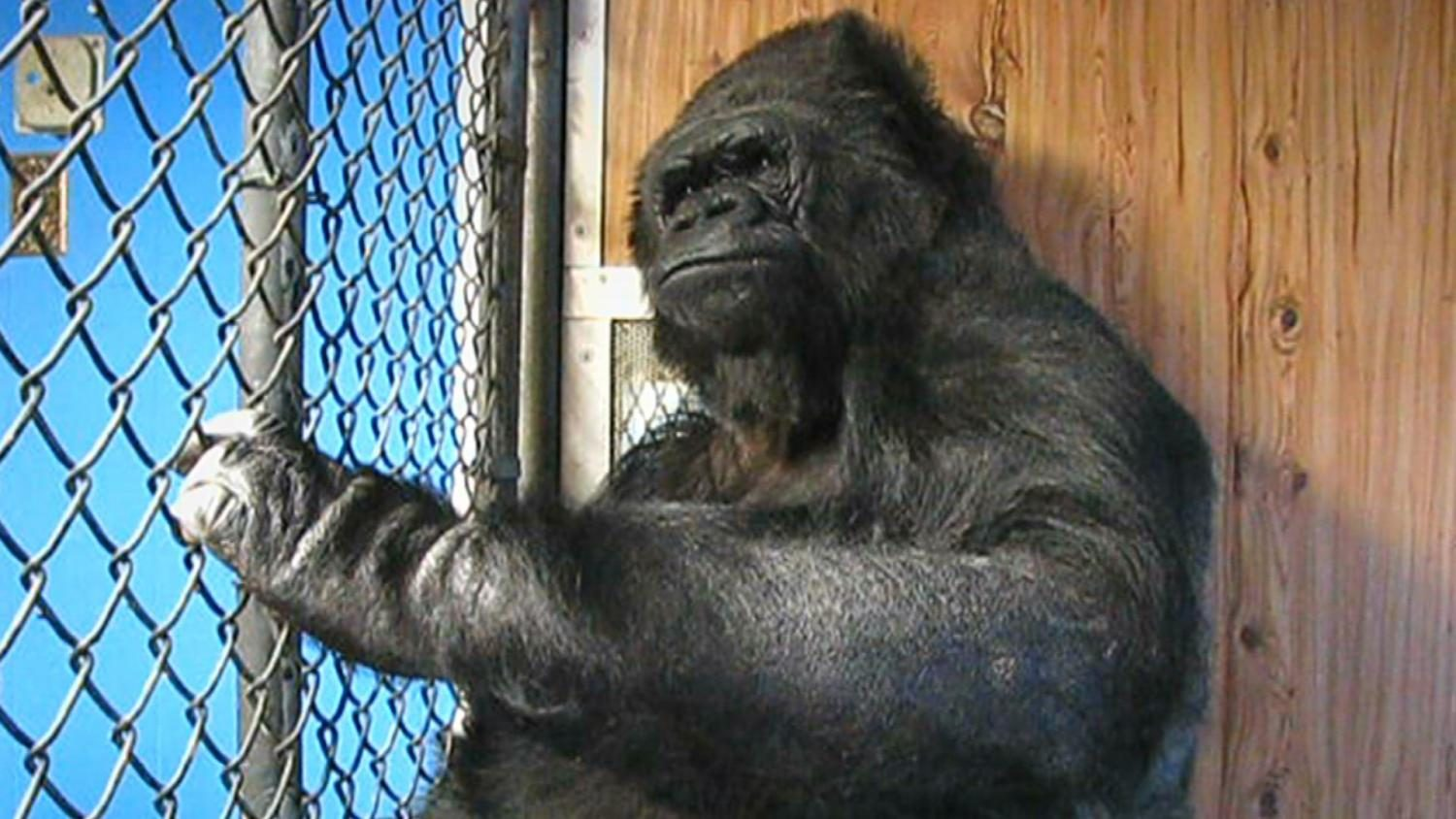 Trinity Students Want Your Help In Helping Koko The Gorilla!